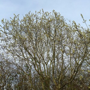 Willow catkins covered in bees. Spring arrived for me today.…