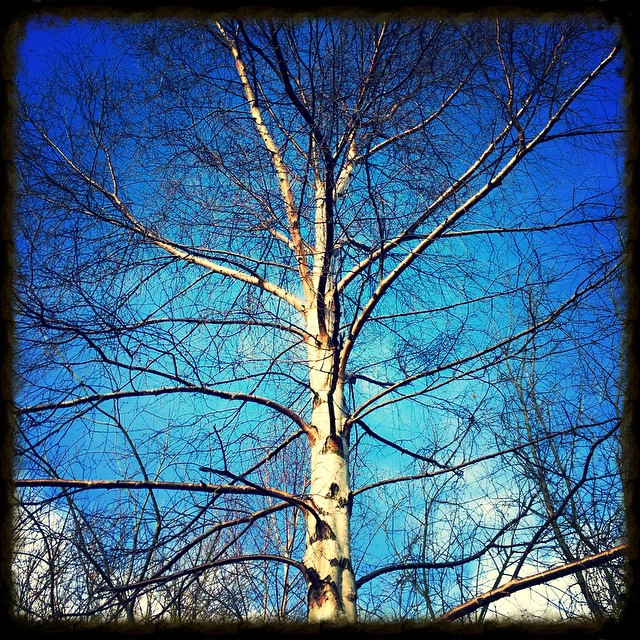 Beith - I am the Birch of new beginnings. #Ogham…