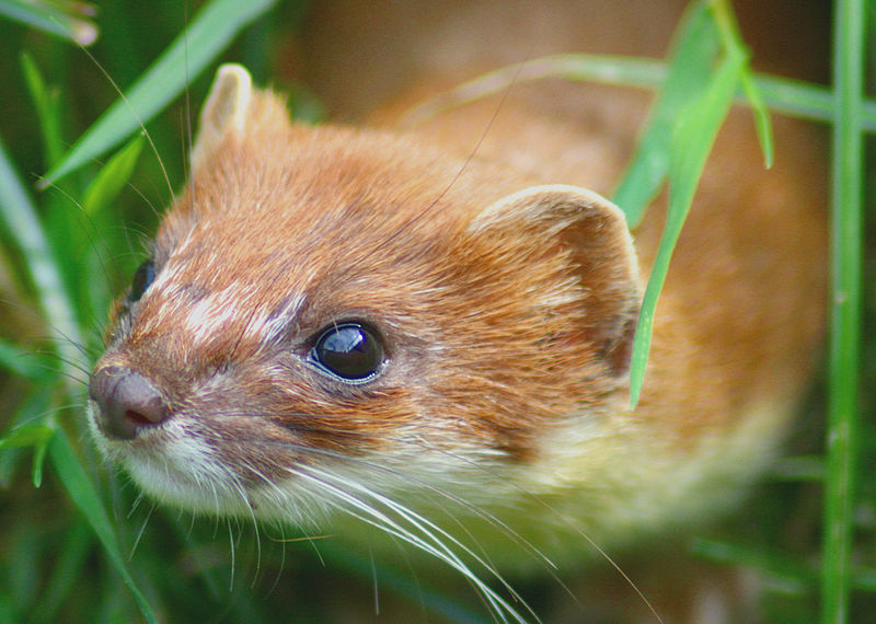800px-Stoat_at_British_Wildlife_Centre