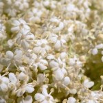 800px-Elder_flowers_little