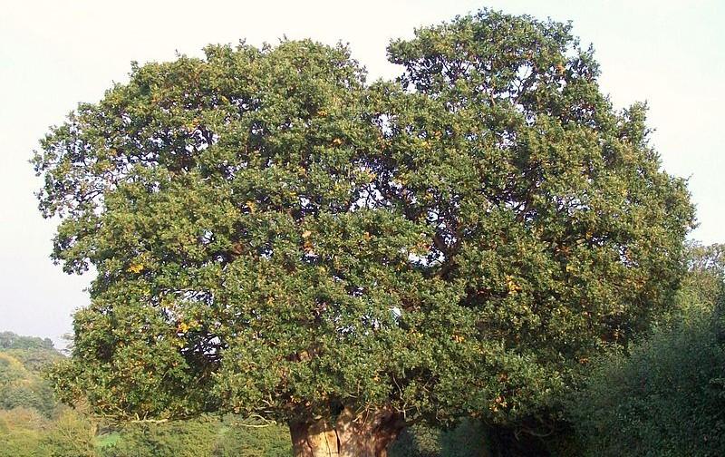 800px-Very_old_Oak_tree
