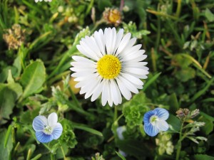 1024px-A_daisy_and_two_blue_flowers