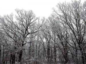800px-Snow_on_trees_(1)