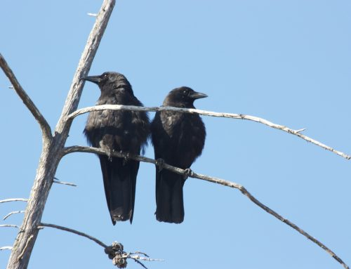 Y Mabinogi – The Blessing of Two Crows